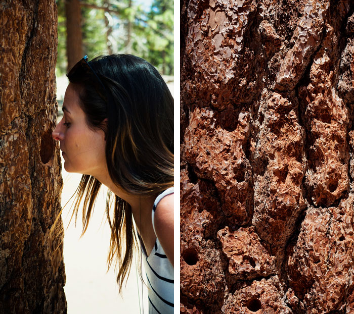 Palm-Springs-Tramway-Jeffrey-Pine-Tree